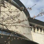 今年の桜はどこで見る? 飛鳥山公園 旧渋沢邸前はお勧めです!